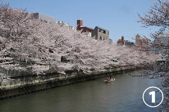 大横川の桜並木1