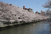 大横川の桜並木