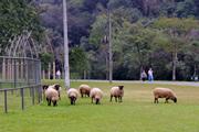 150 クリチバ市の羊による公園の芝生管理