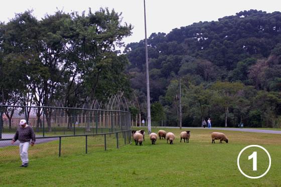 150 クリチバ市の羊による公園の芝生管理1