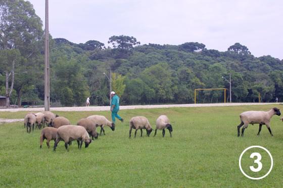 150 クリチバ市の羊による公園の芝生管理3