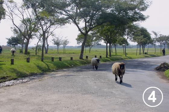150 クリチバ市の羊による公園の芝生管理4