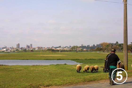 150 クリチバ市の羊による公園の芝生管理5