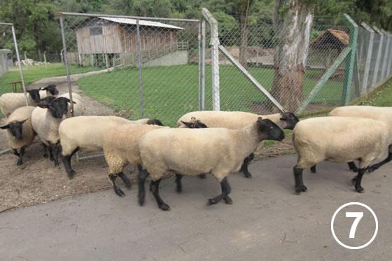 150 クリチバ市の羊による公園の芝生管理7